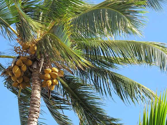 Cocco for Pianta di cocco