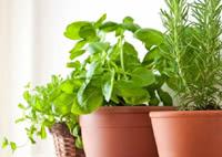 Coltivare in casa le piante officinali e aromatiche sul balcone o in giardino seconda parte - Coltivare piante aromatiche in casa ...